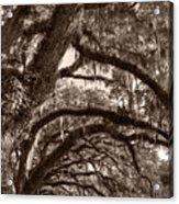 Magnificant Live Oak Trees  Acrylic Print