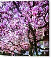 Magnificant Magnolias Acrylic Print