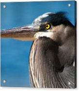 Magnificent Blue Heron Acrylic Print