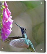 Magnificent Hummingbird A Acrylic Print