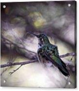 Magnificent Hummingbird Acrylic Print