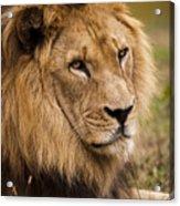 Magnificent Male Lion Acrylic Print