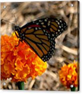 Magnificent Monarch Acrylic Print