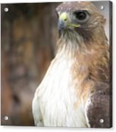 Magnificent Red-tailed Hawk  Acrylic Print