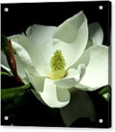 Magnificent White Magnolia - Photography Acrylic Print