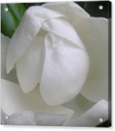 Magnolia Begins Its Blooming Acrylic Print