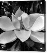 Magnolia Bloom B/w Acrylic Print