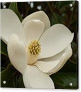 Southern Magnolia Bloom Acrylic Print