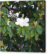 Magnolia Blooming 3 Acrylic Print