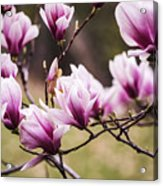 Magnolia Blooming In An Early Spring Acrylic Print