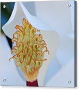 Magnolia Blossom 1 Acrylic Print