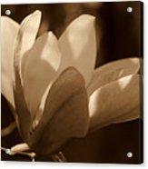 Magnolia Blossom Bw Acrylic Print