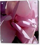 Magnolia Encore  Acrylic Print