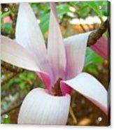 Magnolia Flowering Tree Art Prints White Pink Magnolia Flower Baslee Troutman Acrylic Print