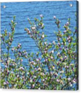 Magnolia Flowering Tree Blue Water Acrylic Print