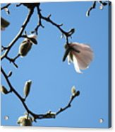 Magnolia Flowers Budding Art Prints Spring Floral Baslee Troutman Acrylic Print