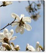 Magnolia Flowers White Magnolia Tree Art 2 Blue Sky Giclee Prints Baslee Troutman Acrylic Print
