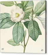 Magnolia Glauca Acrylic Print