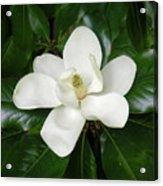 Magnolia Glorious Acrylic Print