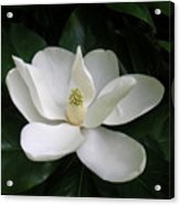 Magnolia Greeting The Day Acrylic Print
