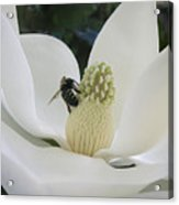 Magnolia Honey Acrylic Print