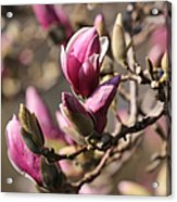 Magnolia In Bloom Acrylic Print