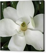 Magnolia In Full Bloom Acrylic Print