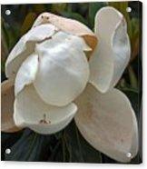 Magnolia No 1 Acrylic Print