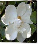 Magnolia No 7 Acrylic Print