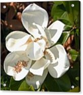 Magnolia No 8 Acrylic Print