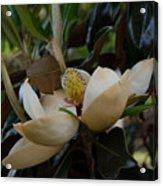 Magnolia Seeds Acrylic Print