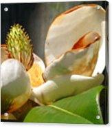 Magnolia Sunburn Acrylic Print