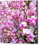 Magnolia Tree Beauty #1 Acrylic Print