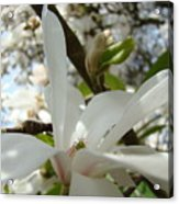 Magnolia Tree Flowers Art Prints White Magnolia Flower Acrylic Print