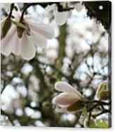 Magnolia Tree Flowers Pink White Magnolia Flowers Spring Artwork Acrylic Print