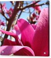 Magnolia Tree Pink Magnoli Flowers Artwork Spring Acrylic Print