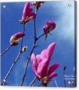Magnolia Tulip Tree Acrylic Print