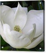 Magnolia Unfolding Acrylic Print