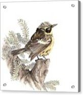 Magnolia Warbler Acrylic Print