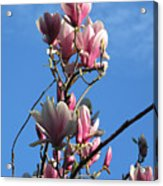 Magnolias And Blue Skies - Springtime In The Valley Acrylic Print