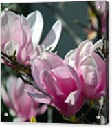 Magnolias Are Blooming Acrylic Print