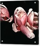 Magnolias At Night Acrylic Print