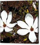 Magnolias Dp3854 Acrylic Print