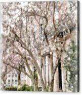 Magnolias In Back Bay Acrylic Print