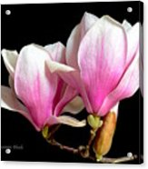 Magnolias In Spring Bloom Acrylic Print