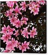 Magnolias In Spring Acrylic Print