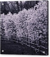 Magnolias In Llewellyn Park, West Orange, New Jersey Acrylic Print