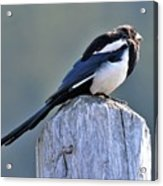 Magpie In The Sun Acrylic Print