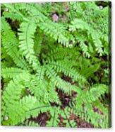 Maidenhair Ferns In Columbia River Gorge Closeup Acrylic Print