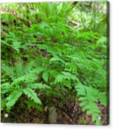 Maidenhair Ferns In Columbia River Gorge Acrylic Print